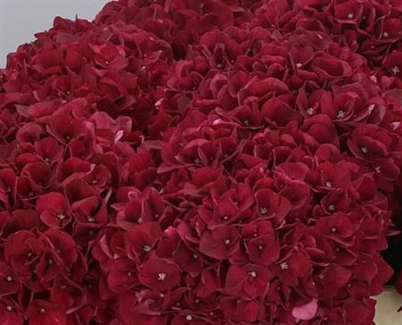 Hydr M Ruby Red